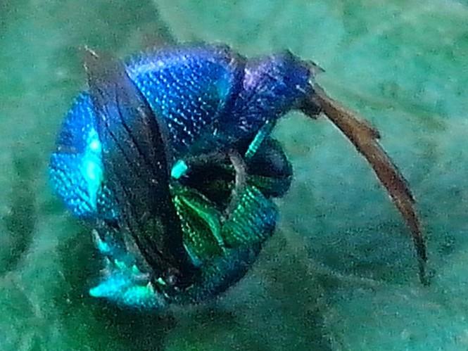 Phát hiện ong lạ có đầu giống đầu cá nóc - ảnh 1